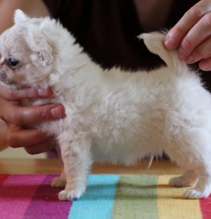 Promising long coated male puppies for sale!
