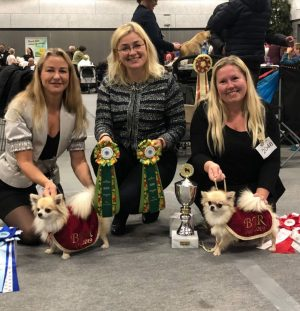 Best of breed at Danish Chihuahua Speciality 2019!