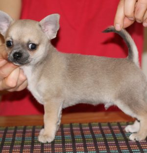 Very promising SC male puppy for sale!